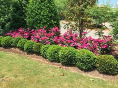 landscaping with boxwoods and roses | Knockout Roses with Boxwood ...
