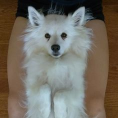 Yes I know I was looking cute here today! Check the bio link for more pics videos and dog toy info! Tag your friends! #americaneskimo #puppy #dog #dogs #cute #pets #fluffy #love #milky #sparky #puppylove #instadog #instadogs