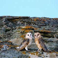 Barn Owls - zoltán kovács - Google+