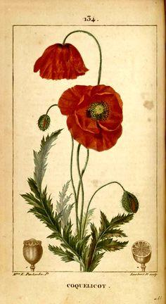 """Coquelicot"" (Poppy) - Plate 134 from ""Flore médicale"" (Vol. 3) by F. Chaumeton, J. L. M. Poiret, J. B. J. A. C. Chamberet de Tyrbas; Paris: C. L. F. Panckoucke, 1831-33 (Washington University, Becker Library)"