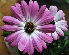 Shades of Purple Daisies