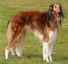 Beautiful breed: Borzoi or Russian Hound