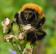 Common carder bee in the garden