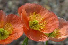 Iceland poppies (Papaver nudicaule) in the Center for Desert Living Trail.