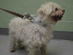 SAFE 4/17/15 --- MAX – A1033019  NEUTERED MALE, WHITE, POODLE STND MIX, 5 yrs OWNER SUR – EVALUATE, NO HOLD Reason MOVE2PRIVA Intake condition EXAM REQ Intake Date 04/13/2015