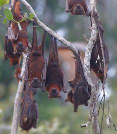 Flying Fox Bats Australia