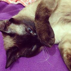 #cat #siamese #siamesecats
