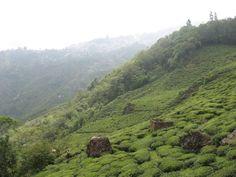 Tea garden in Darjeeling.