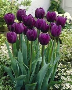Pretty deep purple tulips