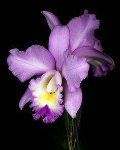 Orchid ~ so pretty, so delicate