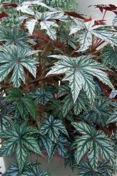 Gryphon begonia seeds - Garden Seeds - Annual Flower Seed Fantastic Leaves! Can live year round if brought in the house