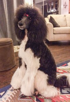 Beautiful Tuxedo Poodle