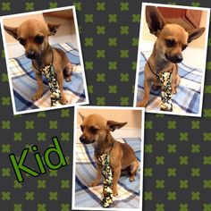 Kid is a male chi that is a year old
