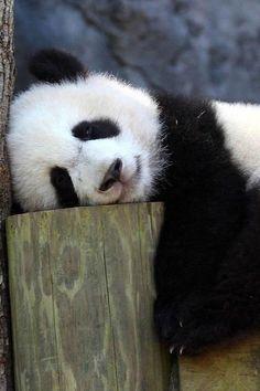 O urso panda sabe fazer várias coisas, mas as duas que ele sabe melhor é comer e dormir. Quem se caracterizou com ele além de mim? :)