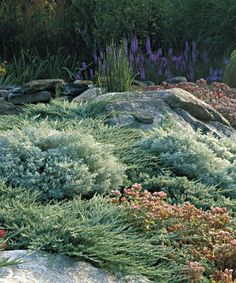 blue rug juniper ( Juniperus horizontalis 'Wiltonii')  with  Sedum and silvermound artemisia  Read more: http://www.finegardening.com/mass-plantings#ixzz3Uo2Spu7S  Follow us: @finegardening on Twitter | FineGardeningMagazine on Facebook