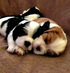 Snuggling Cavalier King Charles Spaniel puppies