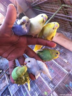 Daily Funny Pictures  Vol. 110 (35 IMAGES). A handful of budgies