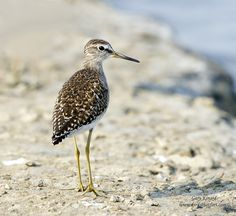 Common Sandpiper (Actitis hypoleucos) | by gary1844