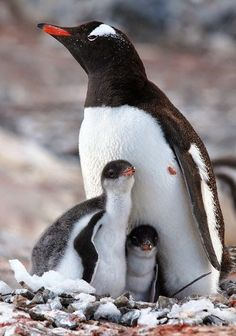Gentoo penguins The long-tailed gentoo penguin is a penguin species in the genus Pygoscelis, most closely associated with the Adélie penguin and the chinstrap penguin. Cute Baby Animals, Animals And Pets, Nature Animals, Nature Nature, Green Nature, Beautiful Birds, Animals Beautiful, Beautiful Family, Gentoo Penguin
