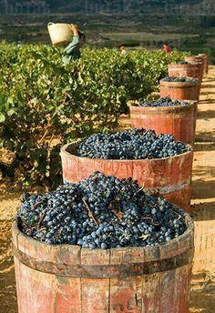 Wine drinking and grape growing Art Du Vin, Mets Vins, Wine Vineyards, Spanish Wine, Vides, Grand Cru, Wine Cheese, Italian Wine, Wine Time