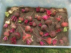 Storing beets (and other root veggies) in plastic storage totes filled with moist sand. Does it work?