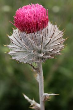 "Cirsium occidentale ""Cobweb Thistle"" - From Annie's Annuals"