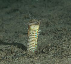 "The Bobbit worm, Eunice aphroditois, is a ferocious underwater predator. The bobbit worm, also known as the Eunice worm, can be found in Secret bay in Bali, Indonesia - Police Pier & Nudie Retreat in Lembeh, Indonesia - and Mainit Muck or Basura in Anilao, Phillipines. It likes sandy and gravel substrates, that you would find on ""muck"" dives."