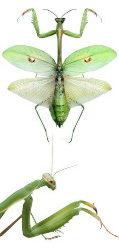 Stagmatoptera supplicaria