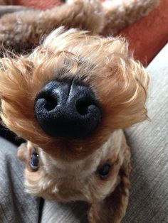Goofy Dogs - Airedale