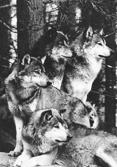 Wolfs, animals with hard life that rest together to be the strongest. I love them!