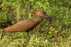 Individual collecting nesting material at Lake Naivasha, Kenya Golden Age, Kenya, Wildlife, Birds, Animals, Stork, Country, Animales, Animaux