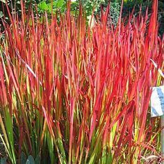 Japanese blood grass - Imperata Red Baron easy-care plant, even tolerating heavy clay soils. Grows to 12 to 24 inches tall and 12 to 18 inches wide. Zones 5 to 9 Japanese Garden Plants, Japanese Garden Design, Garden Shrubs, Landscaping Plants, Landscaping Ideas, Landscaping Software, Modern Landscaping, Backyard Ideas, Imperata Red Baron
