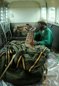 Baby Giraffe Who Los