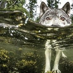 . Something's Fishy. Photography by @ (Ian McAllister) . Researcher Ian McAllister used an underwater housing to get this intimate portrait of a wolf wading through the intertidal zone on the British Columbia coast in Canada. This wolf took a break...