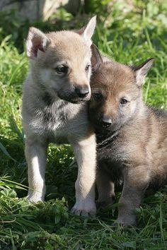 Czechoslovakian wolfdog puppies:)