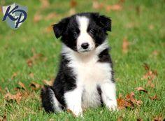 Scruffy – Border Collie Puppy www.keystonepuppies.com #keystonepuppies #bordercollie
