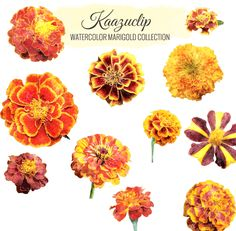 Watercolor Marigold Collection by Kaazuclip on Creative Market
