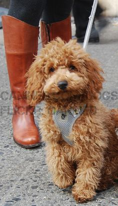 red miniature poodle...maxie?!