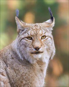 Lynx portrait - Eurasian Lynx Portrait