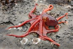 Truly one of the coolest creatures ever created.... amazing cephlopods!!