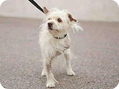 Phoenix, AZ - Cairn Terrier Mix. Meet NICK, a dog for adoption. http://www.adoptapet.com/pet/12357373-phoenix-arizona-cairn-terrier-mix