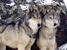 Una volta che due lupi si accoppiano, tendono a stare insieme per tutta la vita