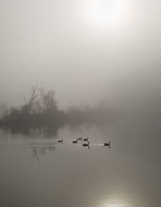 "A gaggle of geese swim slowly down the Chattahoochee River on a very foggy Saturday morning. The dense fog did not seem to bother the six Canadian Geese.   ""Foggy Morning Swim"" © by Christy Cox Photography - the beauty of nature"