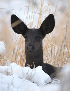 "Melanistic Fawn ---- Even more rare than albino are black, or ""melanistic,"" whitetail deer. The state of Texas seems to have a higher incidence of this mutation."