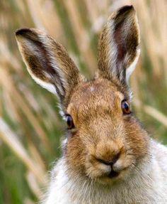 hare ears | ACravan
