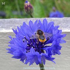 Blue Boy Cornflower