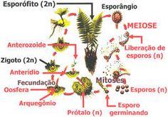 São muito usadas como plantas ornamentais, principalmente as samambaias. Algumas espécies de samambaias podem crescer até 15 metros.