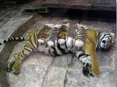 Mother tiger feeding fake cubs. what are they?