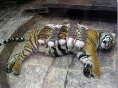 Mãe tigre alimentando filhotes falsos