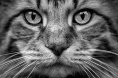 CATURDAY (Scamper) - Composition Saturday #PhotoOfTheDay #caturday #kitty #cat #kitten #feline #catsofinstagram #catoftheday #instacat #catstagram #catlovers #nycat #cutecat #catswag #NewYorkCat #CatsOfNY #catphotography #catphoto #CatPortait #portrait #Horseheads #NewYork #blackandwhite #blackandwhitephoto #bw_photooftheday #bw #blackandwhitephotography #Photography #NikonPhotography #Nikon #ErikMcGregor #2016   © Erik McGregor - erikrivas@hotmail.com - 917-225-8963